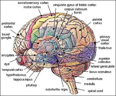 sex good for brain function